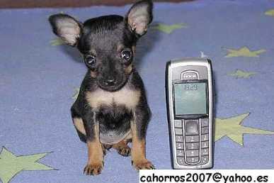 Buscar anuncios perros espa a p gina 229 for Vendo chihuahua barcelona