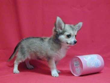 Buscar anuncios perros espa a p gina 152 for Vendo chihuahua barcelona